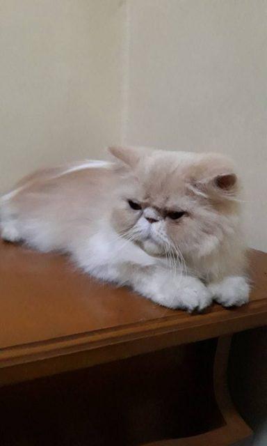 Cara Merawat Kucing Persia hidung pesek