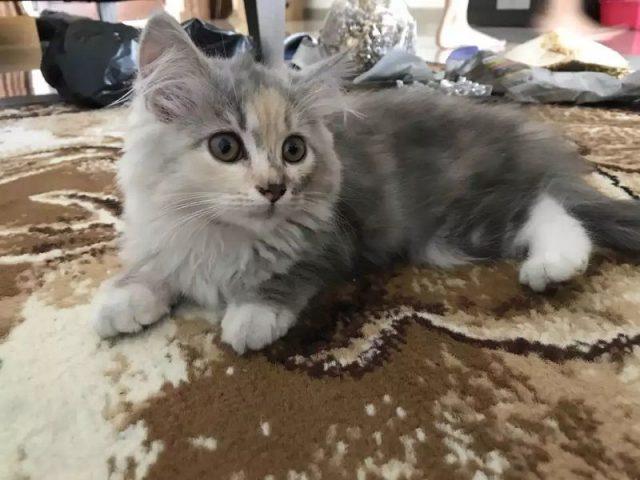 Gambar Cara Merawat Kucing Persia medium