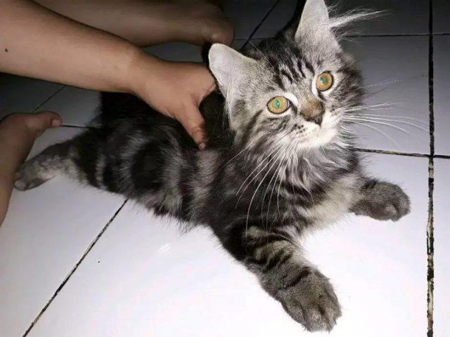 Cara Merawat Jenis Kucing Persia medium