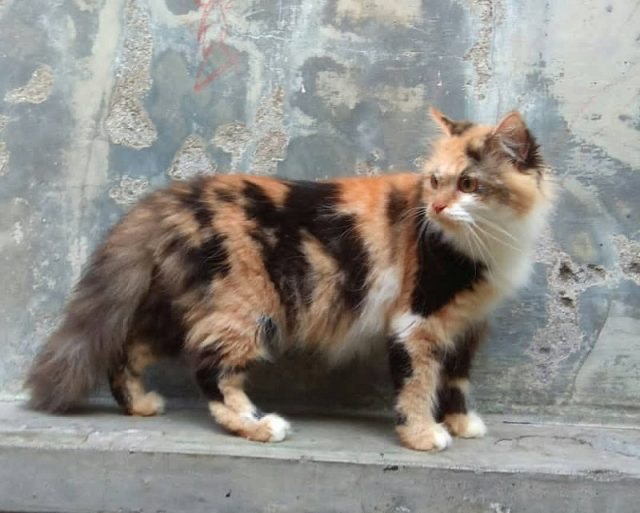 Warna Bulu Kucing Persia medium