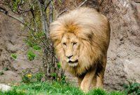 Nama Latin Singa